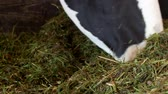 krávy : A black cow with white spots stands in the barn and eats grass silage, close-up, cow muzzle, cow food and farming, cow face Dostupné videozáznamy