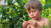 krople wody : Grapes in kids hands. Child eating grapes. Fruit harvesting