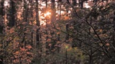 dusk forest : Leaves on the trees drifting and shimmering on the wind. Sunset behind the trees. Wind in the forest. Haze trees in the summer nightfall. Twilight in the forest. Tourism concept. Wanderings background