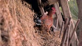 madár : Hen looking for food background. Hen in the straw. Live chicken breaks insects in the straw. Small business, agriculture. Chicken-bear in the straw Stock mozgókép