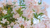 abundante : Park, garden, yard with tree in blossom. Close-up rich flowering with white little flowers. Mediterranean garden style. Mediterranean garden design. Perennial plant for garden, yard, park.