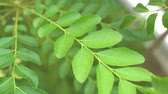 ароматный : Curry leaves tree plant close up footage