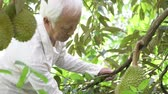 espinhos : Asian farm people checking on durian tree in orchard.