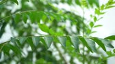 murraya : Curry leaves tree plant close up footage
