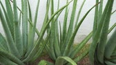 spiked : Aloe vera plant footage video