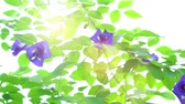 vine branch : Blue butterfly pea flowers tree plant close up footage video.