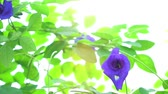 горох : Blue butterfly pea flowers tree plant close up footage video.