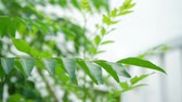 aromatik : Curry leaves tree plant close up footage