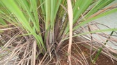 root vegetable : Lemongrass or cymbopogon plants footage video.
