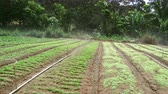 Sprinklers, Automatic Sprinkler irrigation system watering in the farm footage video, Malaysia. Stock Footage