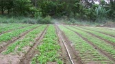 irrigação : Sprinklers, Automatic Sprinkler irrigation system watering in the farm footage video, Malaysia. Vídeos
