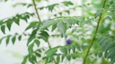 curry : Curry leaves tree plant close up footage video.
