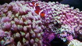 Elegance coral in saltwater aquarium