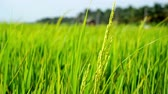 Field of a paddy at the windy day. 動画素材