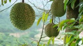 egzotizm : Durian turn around on durian tree, cinemagraphs.