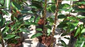 王 : Young baby durian tree in farm nursery. 動画素材