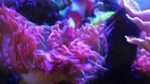 sasanka : Timelapse anemone coral reef and clown fish in saltwater aquarium.