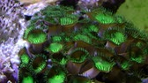 feeding fish aquarium : Polyp zoa button corals close and open timelapse 4k footage. Stock Footage