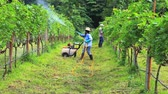 plant fertilizer : Woman spraying fertilizer in a vineyard