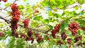 red seedless grapes : View of Red Seedless Grapes in a vinery HD