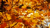 wind : Maple leaves in Autumn. Stock Footage