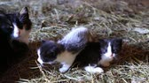 short haired : Mother cat and kittens on the farm