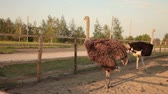 struś : several ostriches in the corral Wideo