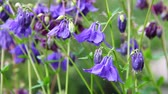 borgonha : Blue and maroon aquilegia flowers on a green meadow Vídeos