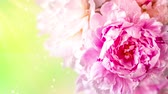 piwonie : Peonies flowers bunch over blurred background. Beautiful pink peonies flower Easter border design closeup. Copy space for your text.