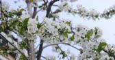 white cherry blossom Wideo