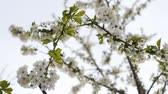soft fruits : white cherry blossom Stock Footage
