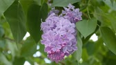 branch with flowering lilac