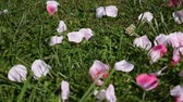 leaves of pink rose on green grass, slow motion