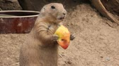 scrunch : Prairie dog chews an apple Stock Footage