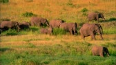 the Herd of Elephants Walking on the Savannah. About Ten Elephants go Through the Tall Grass . Stok Video