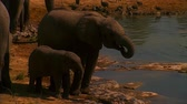 Two Elephants at Sunset. Evening Savannah