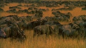 wildebeest : Antelop Large Herd Walks on Savanna