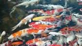 pet : Fancy carp colorful pond fish when feeding