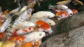 kapr : Koi crowding together competing for food. Fancy koi fish in pool, swimming for food. Beautiful carp fishes of different sizes swim in transparent water. Colorful aquarium tank.