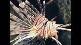 tentáculo : Red lionfish, Pterois volitans. Reef tank filled with water for keeping live underwater animals.