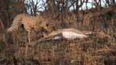 assassinato : A cheetah drags an impala carcass in late afternoon light in the African bush.