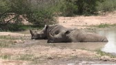 poça de água : Wide and close-up of two white rhino resting peacefully in the water at a Kruger watering hole in the heat of the day.