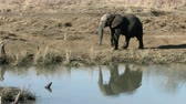 veld : African Elephant walking along bank of a waterhole, lifts trunk and sniffs the air. Reflection of elephant and grass in water.
