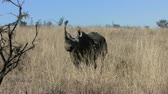 veld : Black rhino standing in long dry grass, walks off through grass and behind trees on a sunny day.