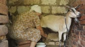 crock : Woman milking a goat. Very old woman collects milk from a goat on the farm. Goats in the household give a lot of milk. Very Helpful milk goats