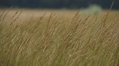 haulm : Spikelets of grass swaying in the wind. Close-up of summer wind blowing on the grass spikelets. Stock Footage