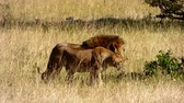 a couple of lions walking in the masai mara reserve