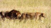 assassinato : a couple of lions walking in the masai mara reserve