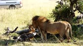 a couple of lions together in the masai mara reserve