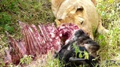 lion eating a wildebeest